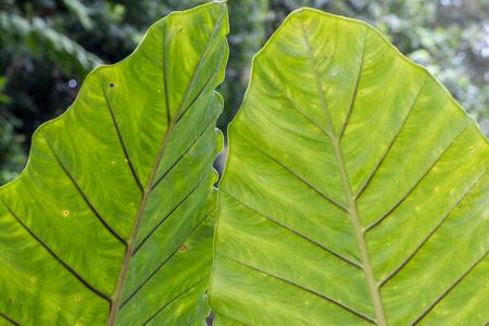 Macro green leafs background, tropical background, Bali island, Indonesia Stock Photo