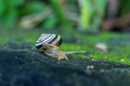 edible snail: A Snail crawling on green moss in the tropical garden. Bali island, Indonesia. Stock Photo