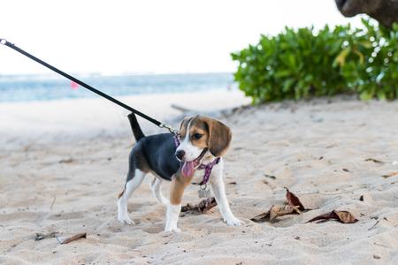 Chiot beagle chien jouant sur la plage de l'île de Bali, en Indonésie. Fermez l'image. Banque d'images - 77019194