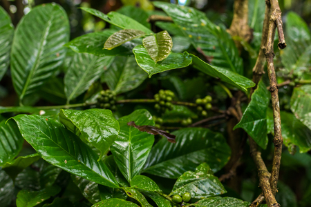 Authentic organic coffee arabica on a coffee plantation of tropical Bali island, Indonesia. Stock Photo