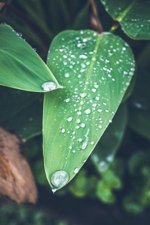 Water drops on fresh green tropical leaf. Bali tropics, Indonesia. Fresh green exotic background.