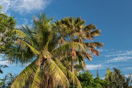 diagonal: Palm tree on a tropical Bali island, Indonesia. Stock Photo