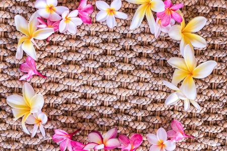 tahitian: Plumeria flower pink and white frangipani tropical flower, plumeria flower bloominge, spa flower, Bali island.