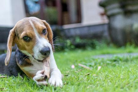 かわいい子犬ビーグル犬自然な緑の背景に。熱帯を島します、インドネシアのバリ島。