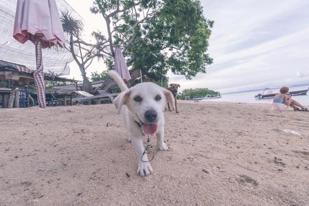nusa: Street dog playing on the beach of Nusa Lembongan island, Bali, Indonesia.