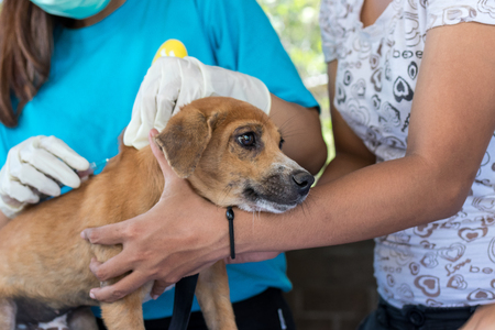 Doctors making anesthesia procedure to puppy dog in veterinarian clinic outdoors in Asia, Bali island.