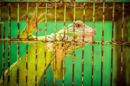 Lizard in the cage in adoptation center in Nusa Dua, Bali island. Stock Photo