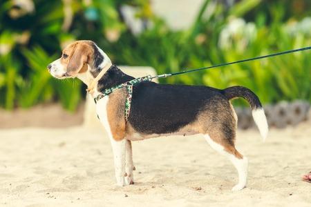 Cute female beagle dog on the beach of Bali island.