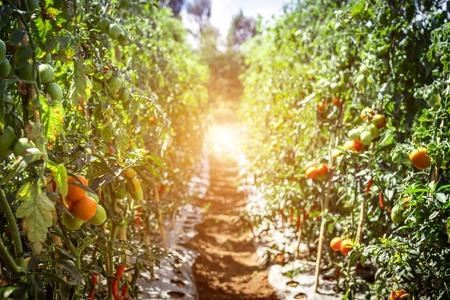 Branch of fresh tomatoes hanging on trees in organic farm, Bali island. Organic tomato plantation.