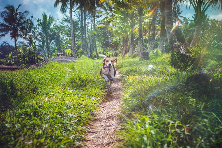 Beagle dog in nature among rice fields, Bali island. Indonesia. Stock Photo