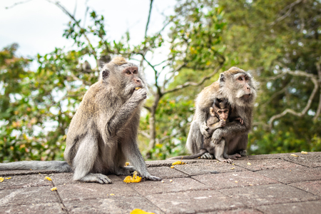A funny little macaque on the nature background. Bali island.