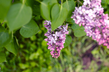 Lilac flowers bunch over blurred background. Beautiful violet Lilac flower. Nature background.
