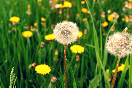 Green Field with yellow dandelions at sunny day, spring time. Imagens