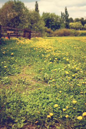 Field with yellow dandelions at sunny day, spring time.