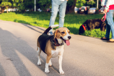 Portrait of cute beagle dog in the park at summer time. Funny pet portrait.