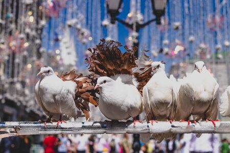 White pigeons sitting outdoor on the street, Moscow.