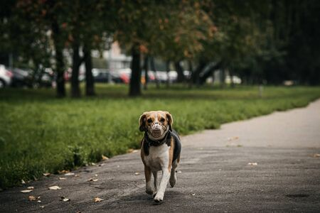Cute beagle don in the autumn park. Funny dog.