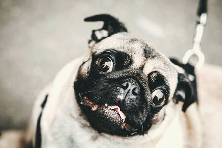 Funny pug dog closeup outdoors. Cute puppy.