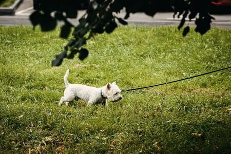 West highland terrier in the park. Outdoor photo shoot. Stockfoto
