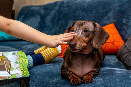 Cute brown dachshund dog and kid legs, indoors shot. Child with dog. Stockfoto