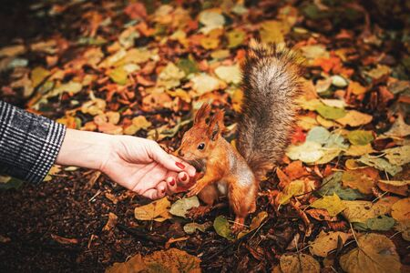 Beautiful little red squirrel animal carmine in autumn with hand nuts in the park. Nature. Stockfoto