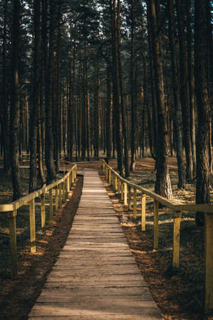 A wooden path in the deep forest with pine trees.