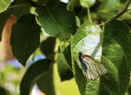 Macro white butterfly on green leaves of apple trees                     photo