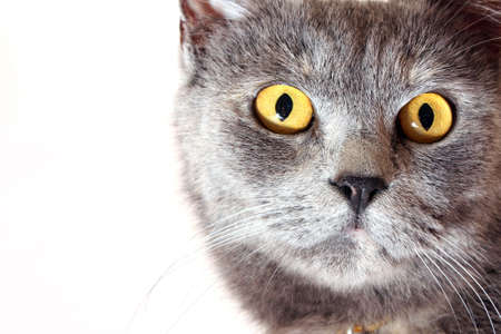 Cat portrait isolated on white background photo