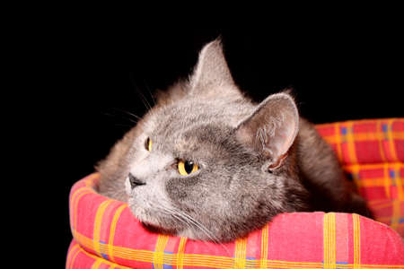 Grey cat in its bed photo