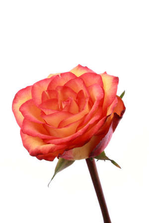 Red rose isolated on white background Stock Photo - 6196927