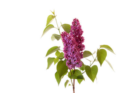 Violet lilacs isolated on white. Stock Photo - 6197467