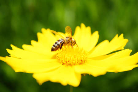 Bee on the sunny yellow flowers background photo
