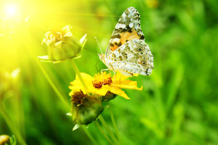 butterfly on the yellow flower photo