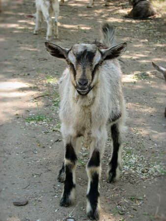 small grey and black   goat outside Stock Photo - 6260101