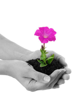 Human hands hold and a young flower photo
