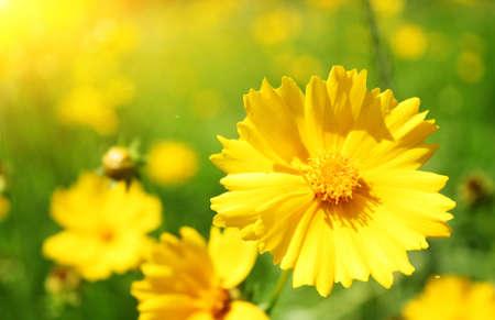 Sunny yellow flowers background Stock Photo - 6257054