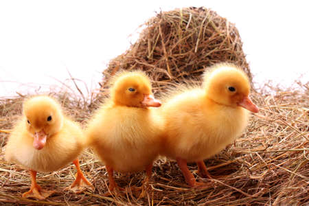 yellow fluffy ducklings on the hay Stock Photo - 6271814