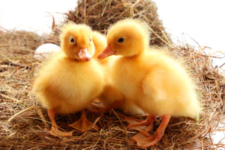 yellow fluffy ducklings on the hay photo