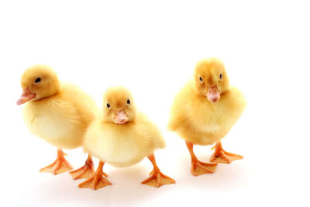 three yellow fluffy ducklings photo