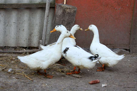 ducks in the village photo