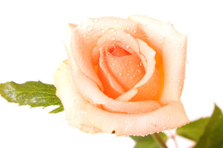 White rose with water drops isolated Stock Photo - 6282312