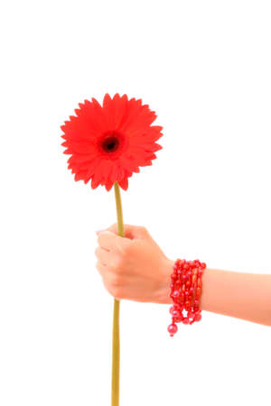 Red Gerber Daisy flower in the hand photo