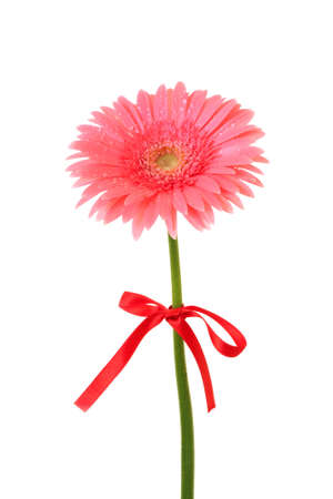 Pink gerbera isolated on white photo
