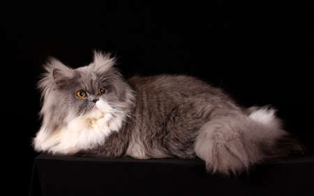 Grey persian cat on black background Stock Photo - 6524306