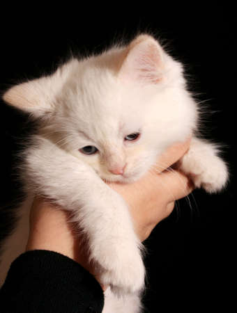 Young white kitten on black background photo