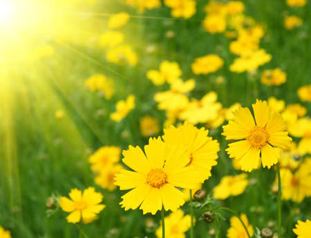 Sunny yellow flowers background photo