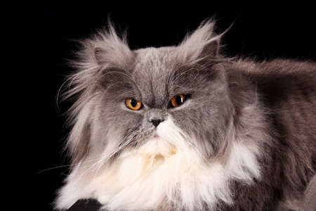 gray cat: Grey persian cat on black background