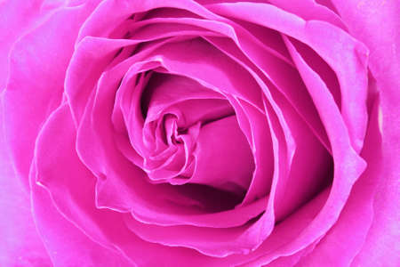 Macro image of big and beautiful pink rose. Extreme close-up Stock Photo - 6801492