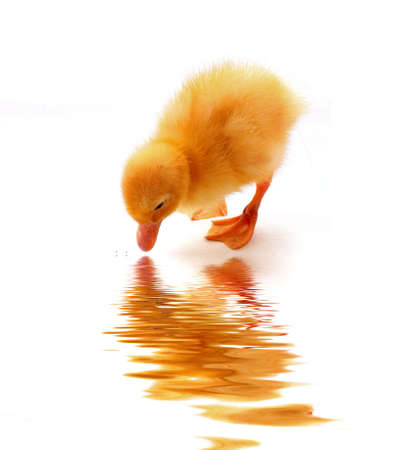 yellow duckling: Yellow duckling on  white background