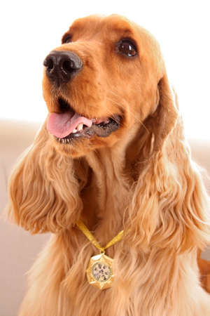 Young brown cocker spaniel on white background Stock Photo - 6882958